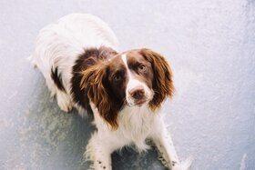 Zac, a lovable Springer Spaniel